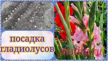 Посадка гладиолусов в открытый грунт, обработка от болезней
