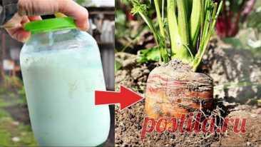 Морковь вырастает огромная и сладкая!  В июле вношу эту бабушкину секретную подкормку!