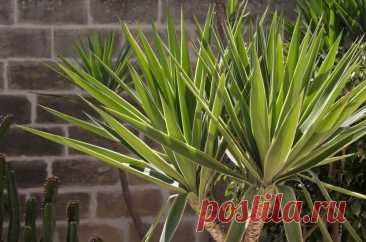 Растение Юкка: выращивание в домашних условиях, особенности ухода, фото - Домашние Советы.