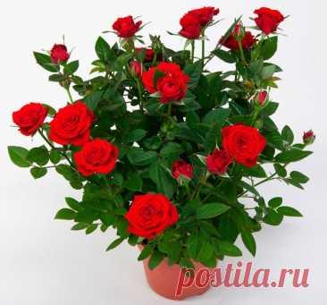 Комнатная роза: уход в домашних условиях, пересадка и размножение, сорта
