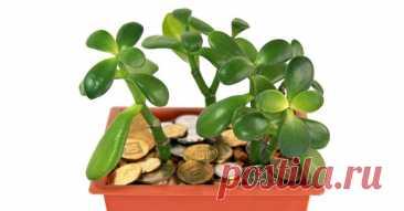 Комнатные растения, которые приносят в дом богатство - Журнал Советов Многие растения приносят нам просто позитив и свежий воздух в доме. Но мы даже не подозреваем, что, помимо этого, они могут приносить материальное благополучие! 1. Денежное дерево Наверное, все со мной согласятся, что самая известная в этом рейтинге – толстянка (она же Крассула), которую незамысловато называют «денежным деревом». Эта знойная южно-африканка, растущая во многих российских […]