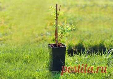 Как правильно посадить жимолость: раскрываем секреты | Голубика, жимолость (Огород.ru)