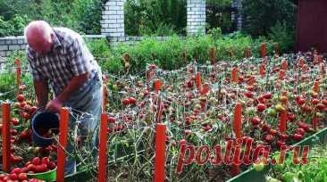 Немецкий агроном научил меня выращивать помидоры без химии так, что с 25 кустов мне хватает томатов и себе, и даже родственникам   Дачный ревизор   Яндекс Дзен