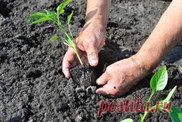 Сажаем по 2 перца в одну лунку: простой способ посадки для богатого урожая