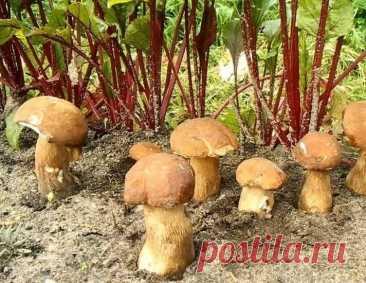 Как посадить лесные грибы во дворе или на дачном участке: урожайная грибница в домашних условиях   FORUMHOUSE   Яндекс Дзен
