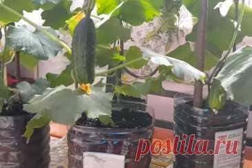 Посадка семян огурцов: универсальный лайфхак