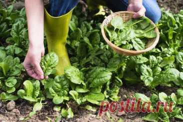 Как выращивать шпинат и получать урожай весь сезон? Фото — Ботаничка.ru