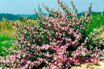 Лекарственное растение Стальник колючий (Ononis spinosa). Многолетнее, у основания одревесневающее растение с восходящими до прямостоячих ветвями, высотой 20-50 см, редко до 1 м. Не отмирающие зимой ветви опушены в 1 или 2 ряда. Нижние листья тройчатые, сидячие или короткочерешковые; листочки яйцевидные, до округло-овальных, зубчатые. Верхние листья преимущественно цельные. Цветки, с венчиком длиной 1,5 см розовые, по 1-3 в пазухах листьев, все вместе образуют рыхлую кисть.