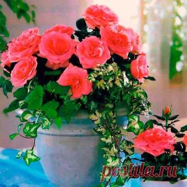 Комнатное растение Роза (Rosa). В отличие от своих садовых собратьев, горшечные розы отличаются меньшими размерами. На время вегетации растения рекомендуют вынести на открытый воздух и прикопать горшки в землю, занося их в дом лишь на время цветения (с весны до конца лета - при правильном уходе). После цветения кустики подрезают и осенью заносят в помещение. Зимой розы рекомендуют держать на солнечных окнах. Секрет успеха культивирования их в доме - интенсивный полив, обилие воздуха, яркий свет