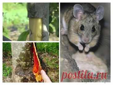 Что делать, если яблоню погрызли мыши, и как защитить деревья от грызунов зимой - Наша дача - медиаплатформа МирТесен
