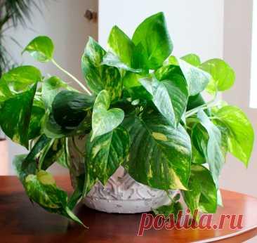 Обзор быстрорастущих комнатных растений для вашей квартиры | Рекомендательная система Пульс Mail.ru