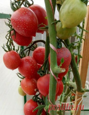 Сорта кистевых томатов.