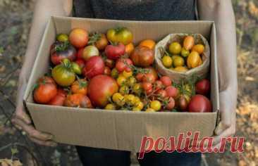 Вредные советы: 7 вещей, которые не стоит делать с томатами в теплице Насколько бы простым ни казалось выращивание томатов в теплице по сравнению с их культивированием в открытом грунте, далеко не всегда это приводит к получению богатого урожая. Чтобы получить богатый у...