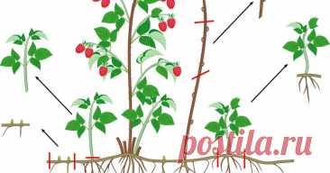 5 проверенных способов размножения малины Рассказываем, как размножать малину отпрысками, черенками и делением куста.
