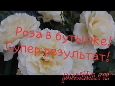 Череночник из бутылки! Черенкование роз удаётся на УРА!!!🍀🤩//Борис Борисов