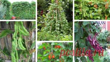 How to grow Climbing beans in your pot and garden | My desired home