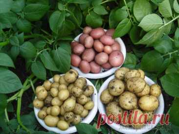 What can be put on the place of the dug-out early potatoes at the beginning of May zealous summer residents amicably start landing of potatoes. And many choose its early grades to receive the first harvest of potato in June. And whether you know that on replacement...