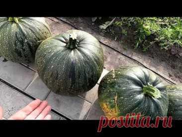 Урожай тыквы 36 плодов, 20 сентября