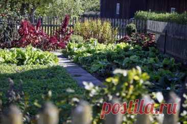 Какие овощи смогут расти и давать урожай в полутени? Зелень, корнеплоды, редис, бобовые, капуста и др. Фото — Ботаничка.ru