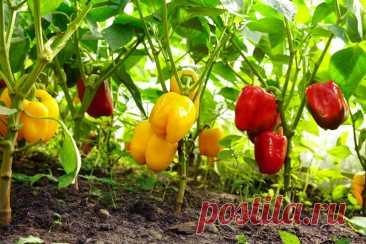 Зачем обрывать листья у перца и как это влияет на урожайность   Огород на подоконнике   Яндекс Дзен