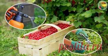 Как восстановить кусты малины и смородины после уборки урожая  Благодарный садовод никогда варварски не будет поступать со своими зелеными подопечными. Прежде чем планировать урожай, он обязательно накормит, напоит, защитит от болезней и вредителей. Но и после сбора ягоды/ малины не бросит, а поможет растениям восстановиться и окрепнуть. Это и правильно: оставлять кустарники без внимания нельзя, иначе в следующем году урожай вас не порадует.  У неремонтантной малины нужно ...