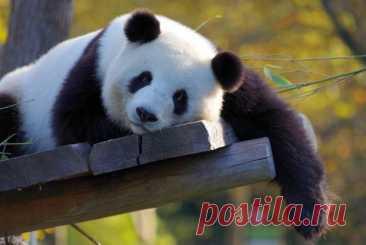 Милые объятия панды с сотрудником зоопарка растрогали пользователей сети: видео