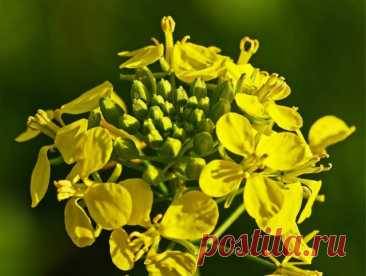 Горчица белая как сидерат когда сеять - отличное средство для улучшения состава почвы.