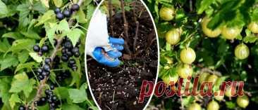 Удобряем ягодные кустарники – секреты хорошего урожая