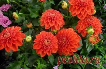 Как посадить георгины: красота и удобство   Наталья Кудрявцева   Яндекс Дзен