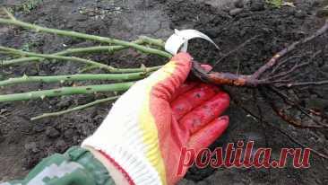Сажаем розы осенью чтобы они пережили любую суровую зиму – инструкция для новичков   Садовый рай 🌱   Яндекс Дзен