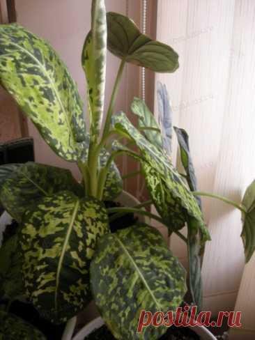 Ядовитые комнатные растения - Домашние растения
