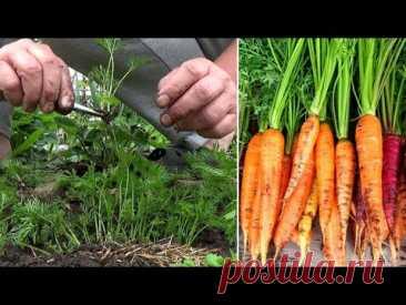 Выращивание моркови без ошибок  Все мои секреты  про  хороший урожай моркови