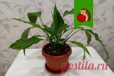 Что нужно сделать со спатифиллумом в марте, чтобы весной он активно рос и обильно зацвел? | садоёж | Яндекс Дзен