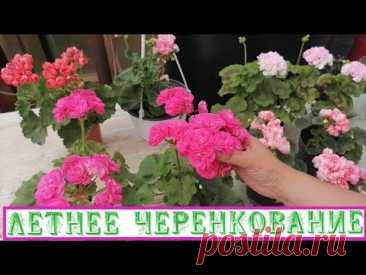 Розебудные пеларгонии размножаются только черенкованием! Режем малочисленные черенки на продажу.