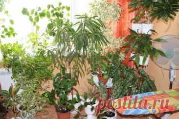 Фикусы. Выращивание и уход Фикус - это один из самых распространённых видов комнатных растений, который славится неприхотливостью и быстрой адаптацией в домашних условиях.