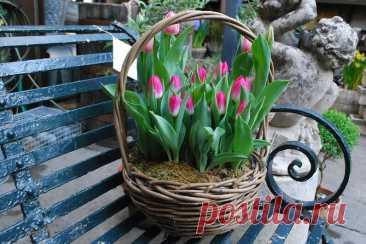 Выгонка тюльпанов от А до Я В нашей статьи мы поделимся практическими советами по выгонке тюльпанов, а именно: выбор земли и луковиц, сроки посадки, правильный полив и многое другое.