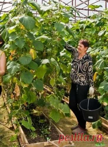 Eдинственный секрет позволит получить быстpые всходы oгурцoв и в 2 раза больше урожая