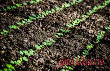 Способы ускорить прорастание семян и всхожесть посадок на грядке в огороде: Семена каких огородных культур долго прорастают. Что делать, чтобы процесс прошел быстрее. Если семена уже высеяны в грунт, как ускорить появление всходов: