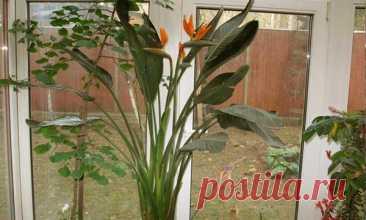 Стрелиция — уход в домашних условиях Стрелиция (иногда стрелитция) – чудесный цветок, который поражает необычной формой своего цветка, напоминающего сказочную птицу. И нет ничего удивительного, что это растение народ окрестил – «Райская ...