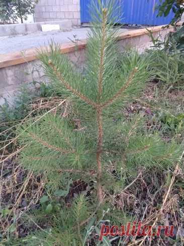 Совет старого лесника: как посадить на участке елку (любое дерево), чтобы прижилась даже в жару и быстро росла.