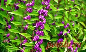 14 удивительно красивых растений, которые стоит посадить в саду   Дизайн участка (Огород.ru)