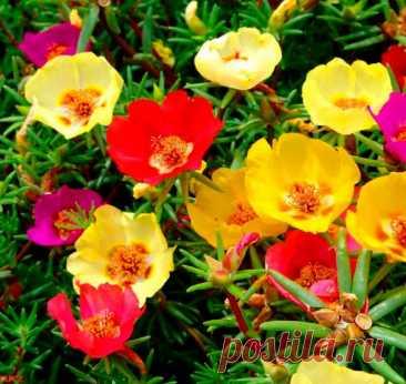 Портулак: выращивание из семян, посадка и уход в открытом грунте