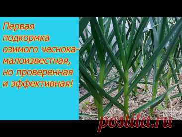 Об этой подкормке чеснока вам никогда не расскажут те, кто умеет его выращивать!
