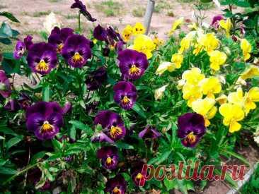 Лекарственное растение Фиалка трехцветная, анютины глазки (Viola tricolor). Однолетнее растение высотой 10-30 см, стебель приподнимающийся или прямостоячий, разветвленный. Листья черешковые, яйцевидно-ланцетные до сердцевидных с перисторассеченными прилистниками, у которых имеется удлиненное, чаще всего зазубренное окончание. Цветки, как правило, трехцветные (желтые, кремовые, фиолетовые), чаще всего больше 1,5 см. Этим они отличаются от очень схожего вида - фиалки полевой (V. arvensis).