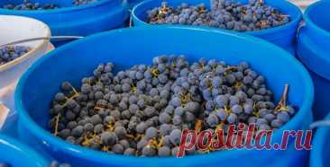 Простой рецепт красного вина из винограда в домашних условиях пошагово для чайников. | В огороде лебеда. | Яндекс Дзен