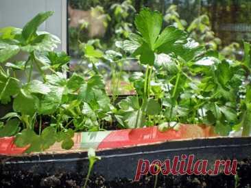 Секреты выращивания петрушки и кабачков на балконе - SdelaiBalkon - Экспертно о благоустройстве балконов и лоджий