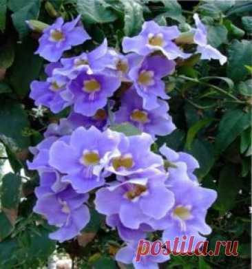 однолетние лианы цветущие | ВО САДУ И В ОГОРОДЕ