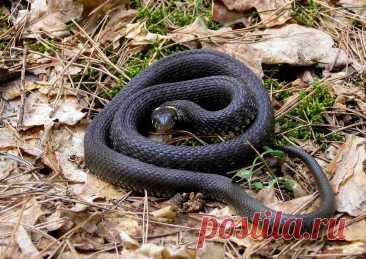 Как избавиться от змей на участке? Соседство змей на участке неприятно любому человеку. Пресмыкающиеся не только вызывают ужас у многих владельцев дач, загородных домов, но и чрезвычайно опасны. Укус рептилии может стать последним...
