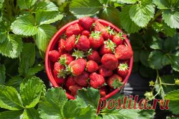 The wild strawberry is garden: the correct leaving for productivity increase