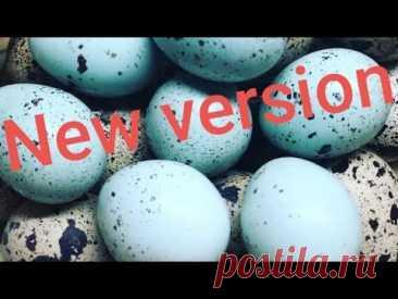 Селадон, тенеброз. Новые породы перепелов, закладываем яйцо в инкубатор.